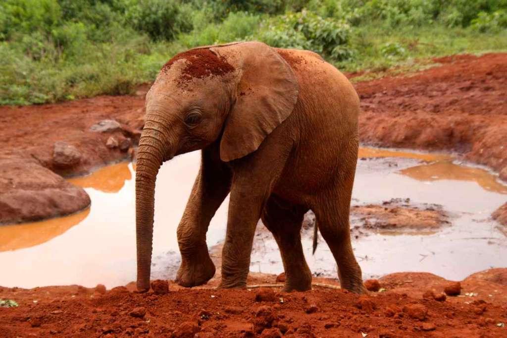 El Orfanato de elefantes de David Sheldrick en Nairobi