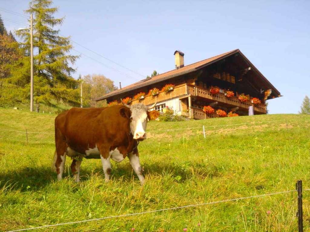 Vaca y casa típica suiza de montaña. 10 curiosidades sobre Suiza.
