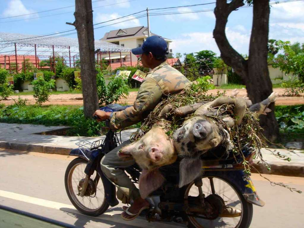Vietnamita llevando dos cerdos en su motocicleta. 10 curiosidades sobre Vietnam.